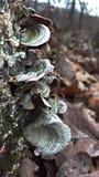 Mushrooms on stump Stock Photography