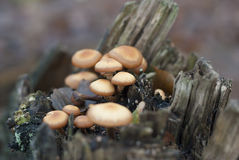 Mushrooms on a stump. Red mushrooms growing on hemp Stock Photography