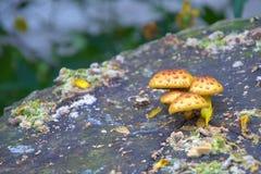 Mushrooms on a stump Royalty Free Stock Photo