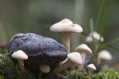 Mushrooms on a stump Royalty Free Stock Photography