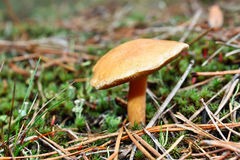 Mushrooms suillus bovinus Royalty Free Stock Images