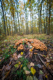 Mushrooms sulphur tuft. Grow around the trunk Stock Image