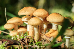 Mushrooms in the sun in the forest. Group of mushrooms in the sun Royalty Free Stock Images