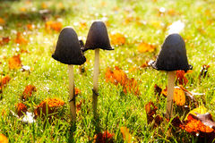 Mushrooms in the sunlight. The mushrooms in the sunlight Stock Photography