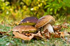 Mushrooms. Three mushrooms in the grass Royalty Free Stock Photo
