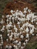 Mushrooms. Tiny termite mound mushrooms in Zambia Stock Photos
