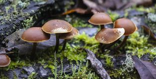 Mushrooms toadstools. bright small poisonous mushrooms toadstool group psilocybin. Dangerous poisonous mushrooms Mushrooms toadstools. bright small poisonous royalty free stock images