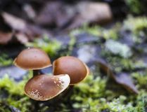 Mushrooms toadstools. bright small poisonous mushrooms toadstool group psilocybin. Dangerous poisonous mushrooms stock photography