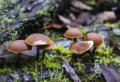 Mushrooms toadstools. bright small poisonous mushrooms toadstool group psilocybin. Dangerous poisonous mushrooms royalty free stock image