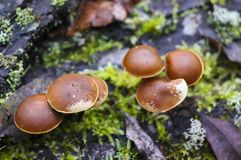 Mushrooms toadstools. bright small poisonous mushrooms toadstool group psilocybin. Dangerous poisonous mushrooms Mushrooms toadstools. bright small poisonous stock image
