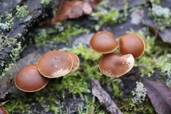 Mushrooms toadstools. bright small poisonous mushrooms toadstool group psilocybin. Dangerous poisonous mushrooms stock photo