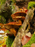 Mushrooms on the tree Stock Images