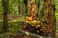 Mushrooms On Tree. A Bract Of Bark Mushrooms Growing On Pine Tree In Glacier National Park, Montana Royalty Free Stock Photos