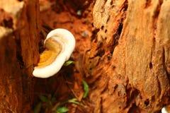 Mushrooms on a tree caused. Mushrooms on a old tree caused Stock Photos