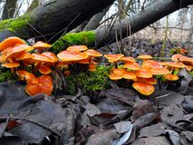 Mushrooms on tree in early spring. Stock Images