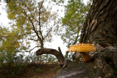 Mushrooms on a tree Stock Photography