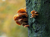 Mushrooms on a tree Royalty Free Stock Photo