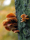 Mushrooms on a tree Stock Photography