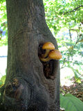 Mushrooms in the tree Royalty Free Stock Photography