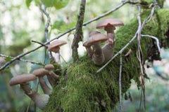 Mushrooms on a tree Royalty Free Stock Image