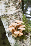 Mushrooms on a tree Royalty Free Stock Image