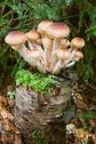 Mushrooms. On a tree stump Stock Images