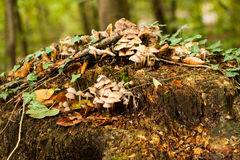 Mushrooms on tree stump Stock Image