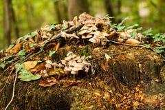 Mushrooms on tree stump Stock Image