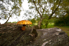 Mushrooms on a tree stump. Forests in northern Russia Stock Photos