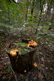 Mushrooms on a tree stump. Forests in northern Russia Royalty Free Stock Photo