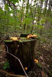 Mushrooms on a tree stump. Forests in northern Russia Royalty Free Stock Image