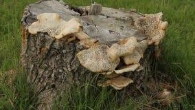 Mushrooms Tree Stump Grass Zoom stock video footage
