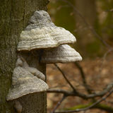 Mushrooms on a tree trunk Stock Images