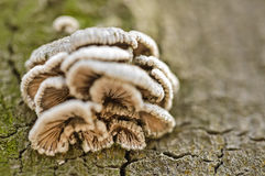 Mushrooms on tree trunk Royalty Free Stock Photo