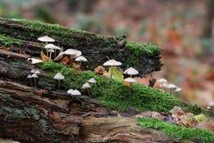 Mushrooms on tree-trunk Stock Images