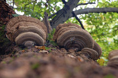 Mushrooms on a tree Stock Photos