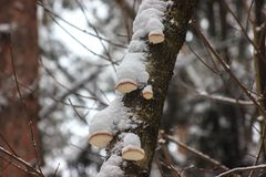 Mushrooms on trees in the winter under snow. stocks for the winter for animals, food stock photo