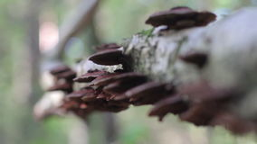 Mushrooms  on trunk in forest(Daedaleopsis confragosa) stock footage