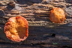 Mushrooms on the trunk of the tree Royalty Free Stock Photography