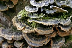 Mushrooms on trunk of tree. Mushrooms on trunk of old tree in forest Royalty Free Stock Photography