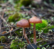 mushrooms two στοκ φωτογραφία