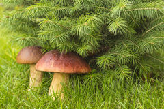 Mushrooms under a fir-tree Stock Images