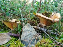Mushrooms. Underbrush forest Royalty Free Stock Photos