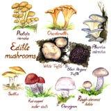 Mushrooms growing variety set on white background. Mushrooms  variety set, Pholiota nameko, Chanterelle, Pleurotus ostreatus oyster mushroom, White and Black Royalty Free Stock Photography