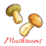 Mushrooms vector sketch vegetarian food. Mushrooms sketch. Vector edible mushroom penny bun, cep, porcino or porcini. Vegetarian or vegan protein ingredient for Royalty Free Stock Photo