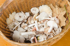 Mushrooms in wicker basket. May mushrooms and dried leaf in wooden wicker basket Royalty Free Stock Photography