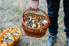 Mushrooms in a wicker basket. In the woods stock images