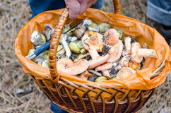 Mushrooms in a wicker basket. In the woods royalty free stock photography