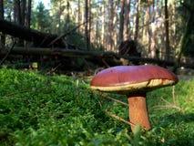 Mushrooms Xerocomus badius. In the moss Stock Images