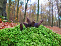Mushrooms xylaria polymorpha Stock Image